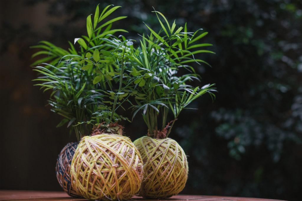 kokedamas palmeiras